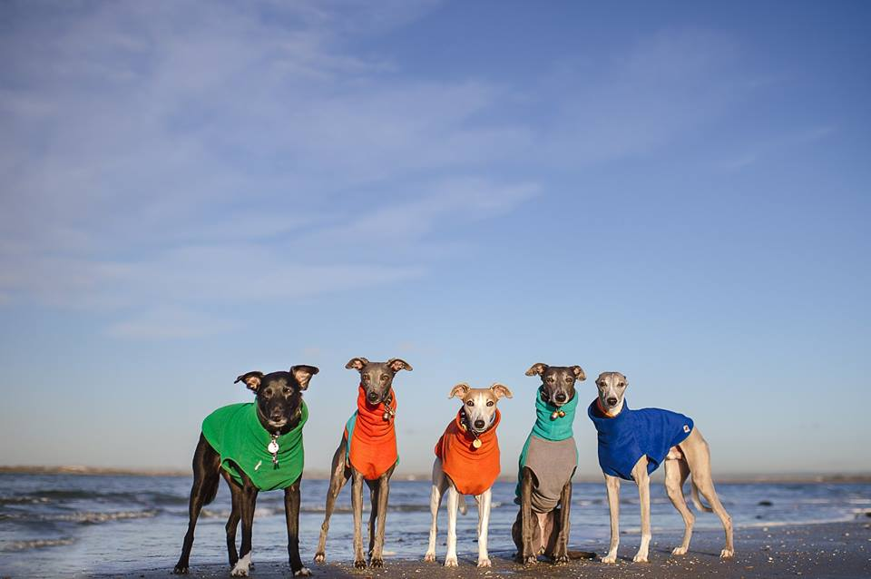 Whippet Snippets Dog Photography