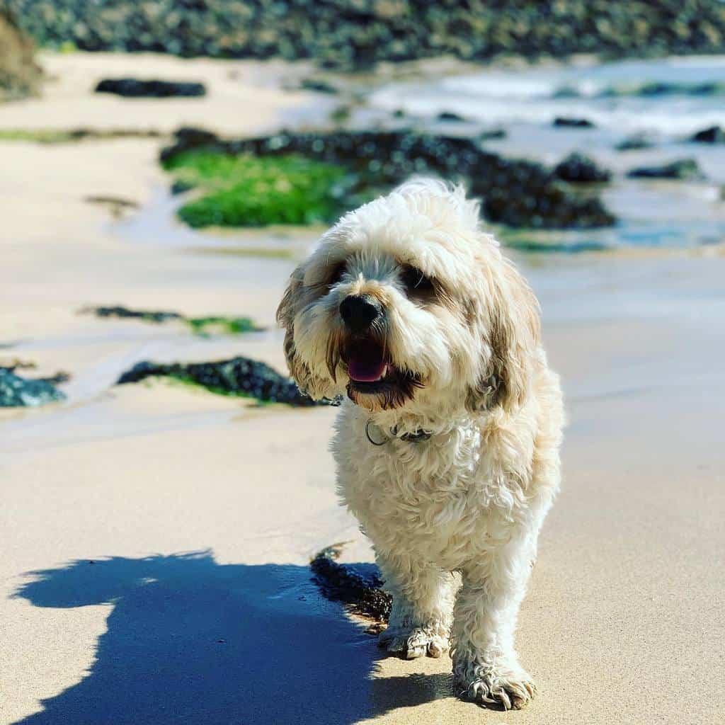 Cavapoo Dog on Dogfriendly Beach Cornwall