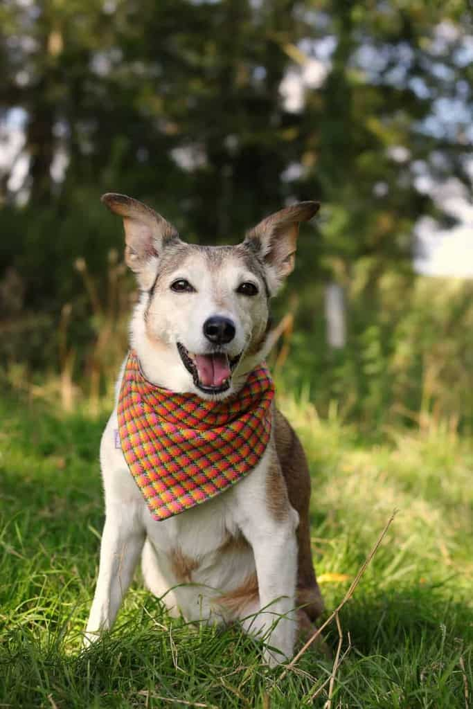 Pooch Bandana Dog Accessories