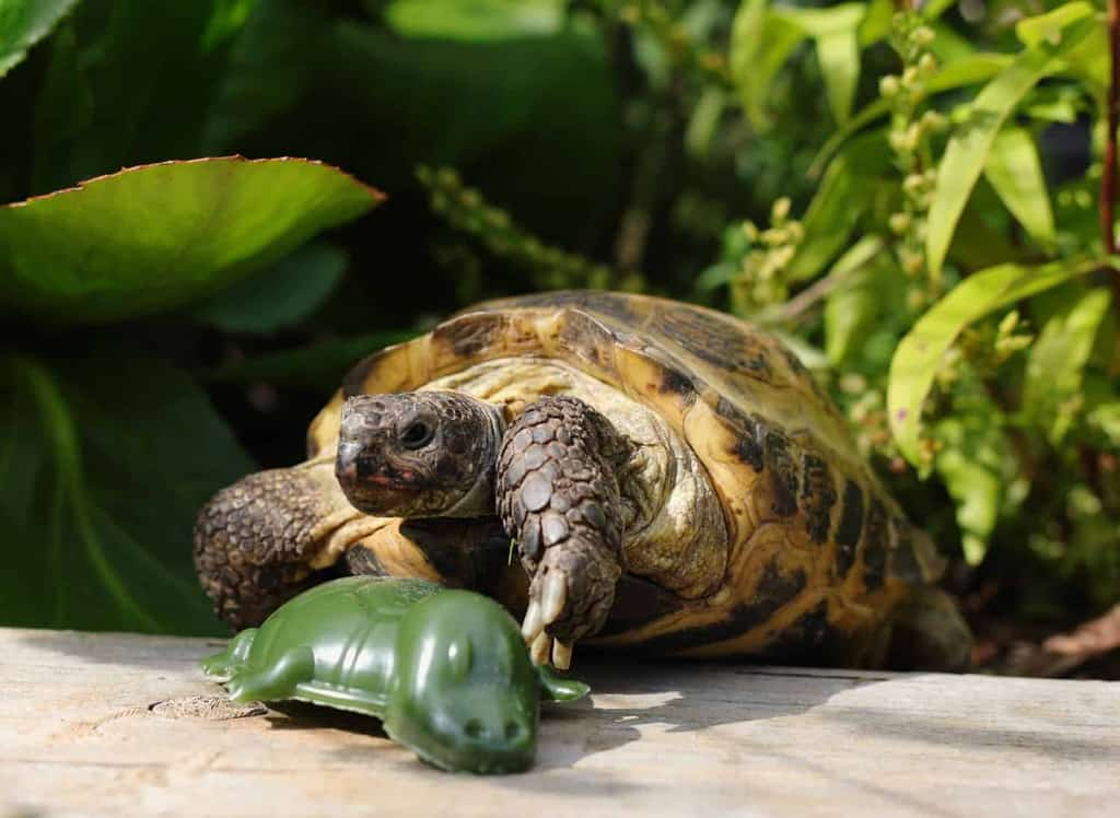 Tortoise with Dog Treat