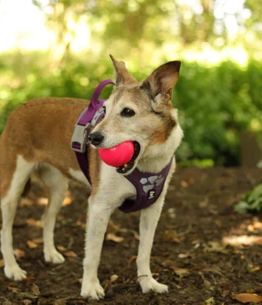 Hi Viz Dog Harness