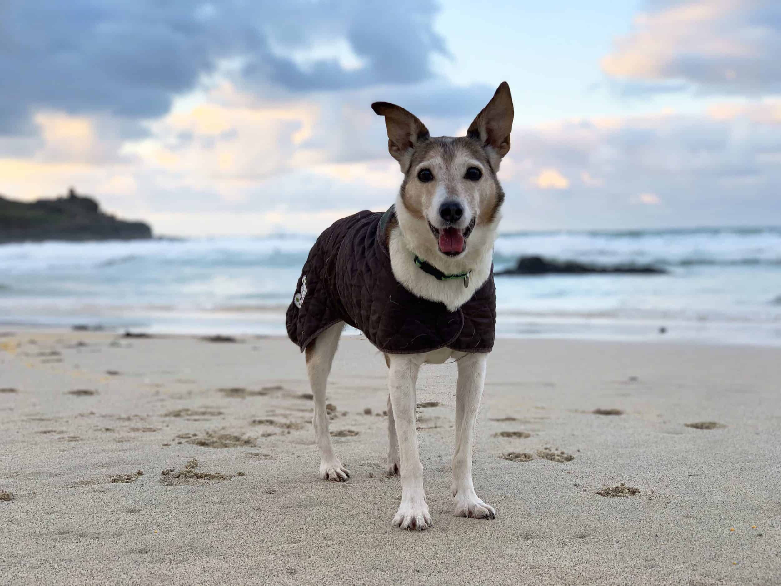 Poppy Dog on Porthmeor Beach