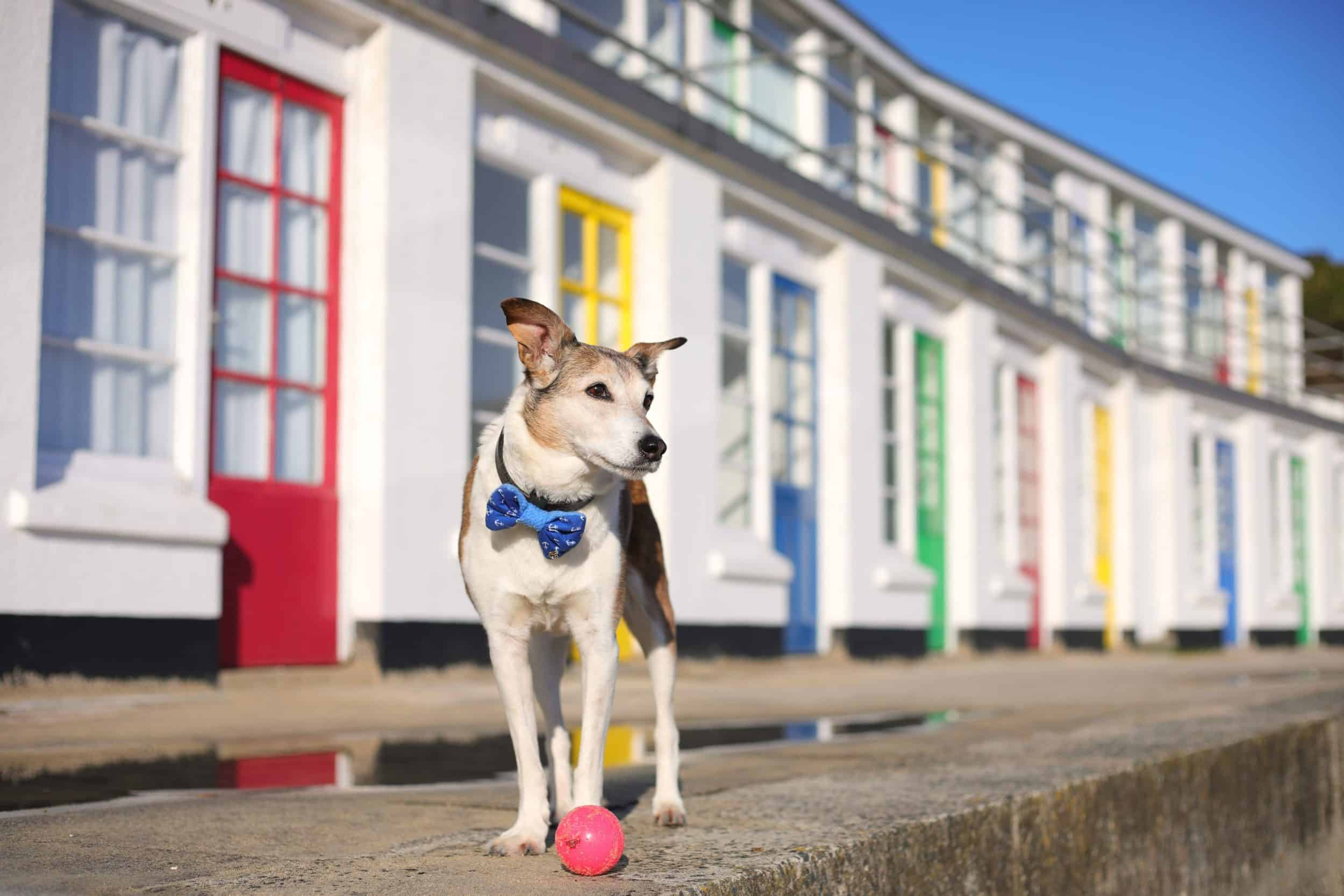 Poppy Dog by the Beach Huts at Porthwidden Beach