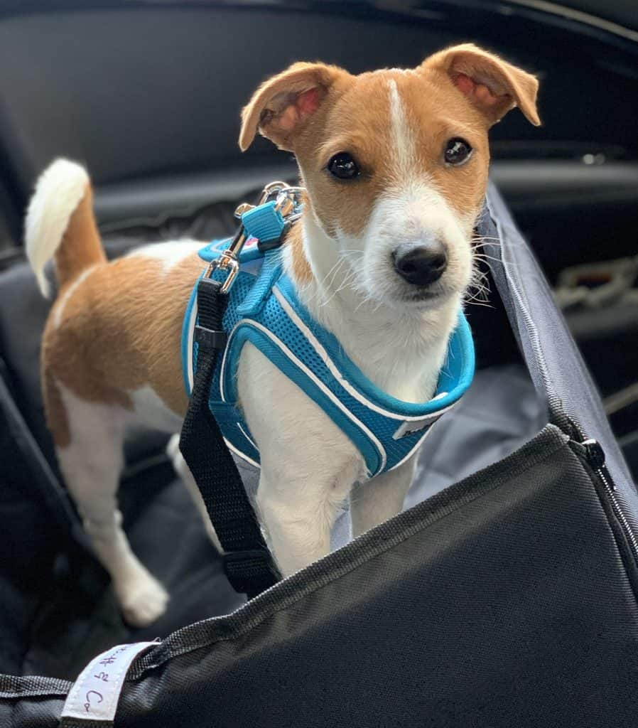 Puppy in Car Harness