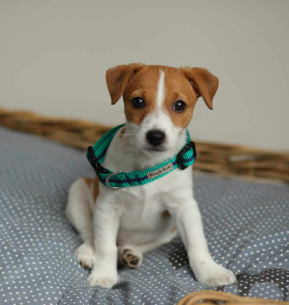 Puppy in Reg&Bob Collar