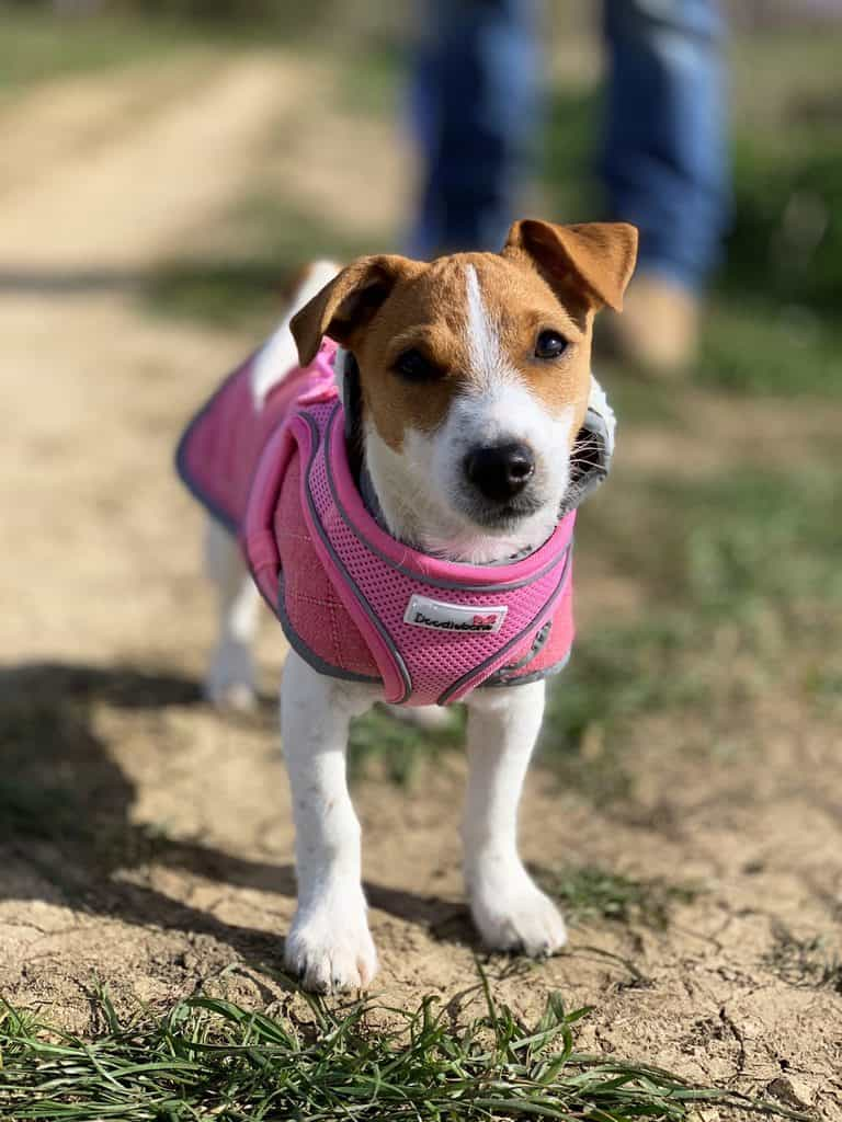 Puppy in Doodlebone Coat