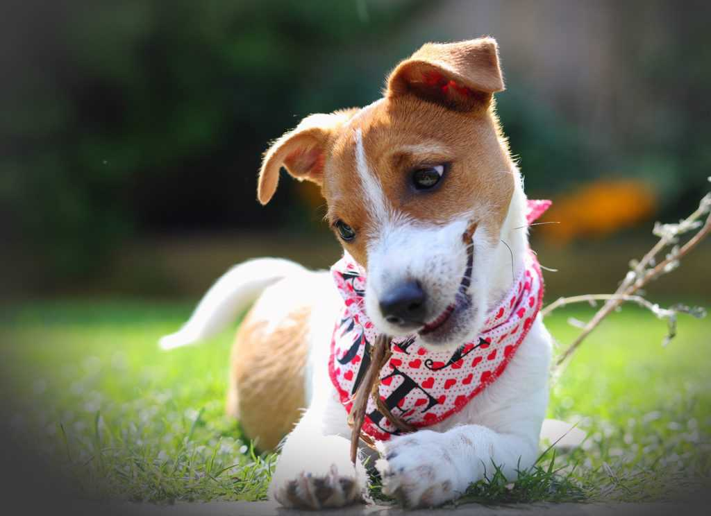 Puppy in Scruffy Little Terrier Dog Bandana