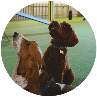 Beagle at Paws Indoors Doggy Daycare Southend