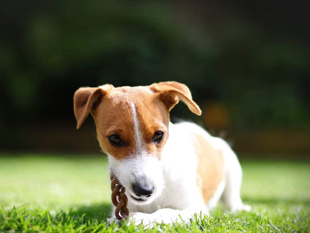 Parson Jack Russell Puppy