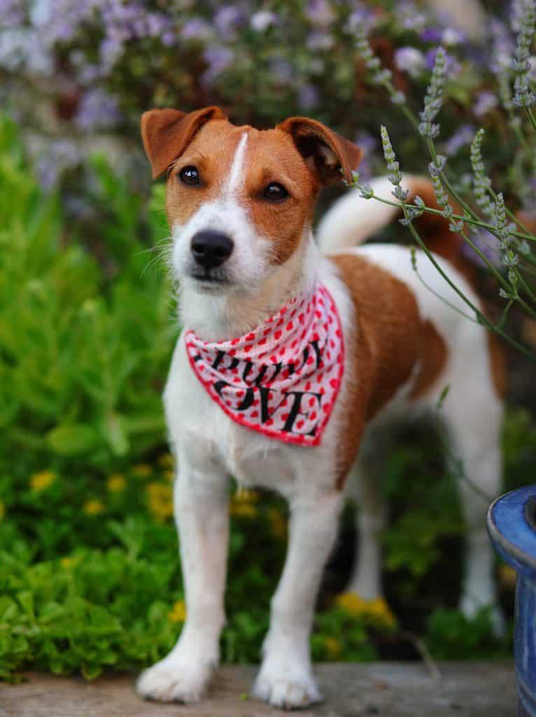 Puppy Love Bandana Scruffy Little Terrier