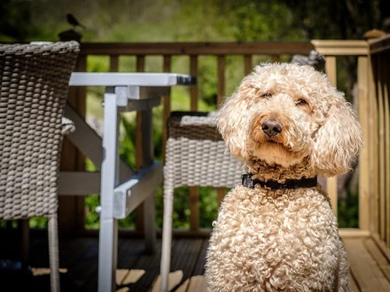 Dog on Terrace
