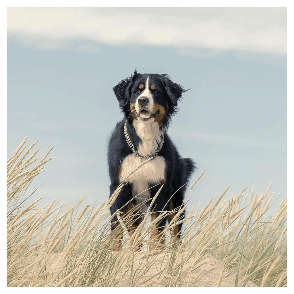 Collie in Sand Dunes