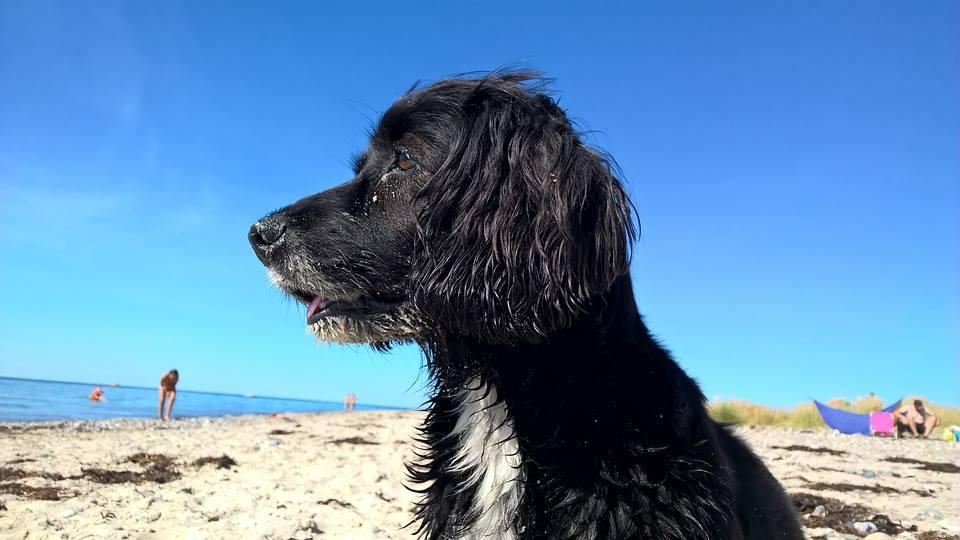 Beach Dog Cornwall