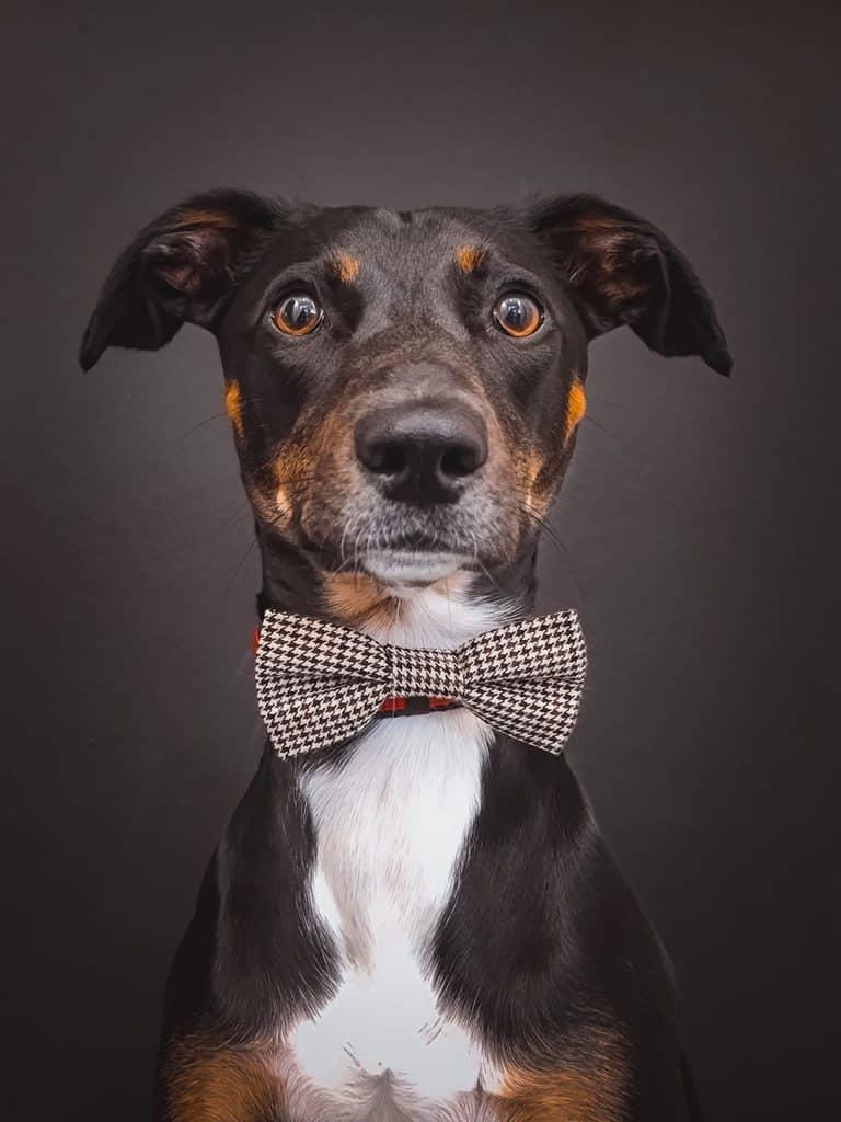 Paw and Bone Dog Bowtie